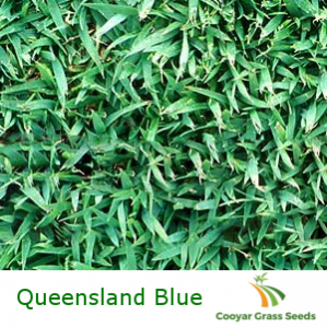 Queensland Blue Couch