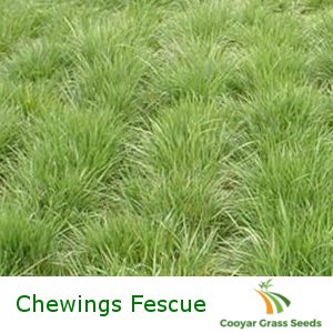 Chewings Fescue