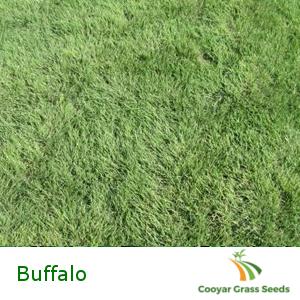 Buffalo Grass Seed